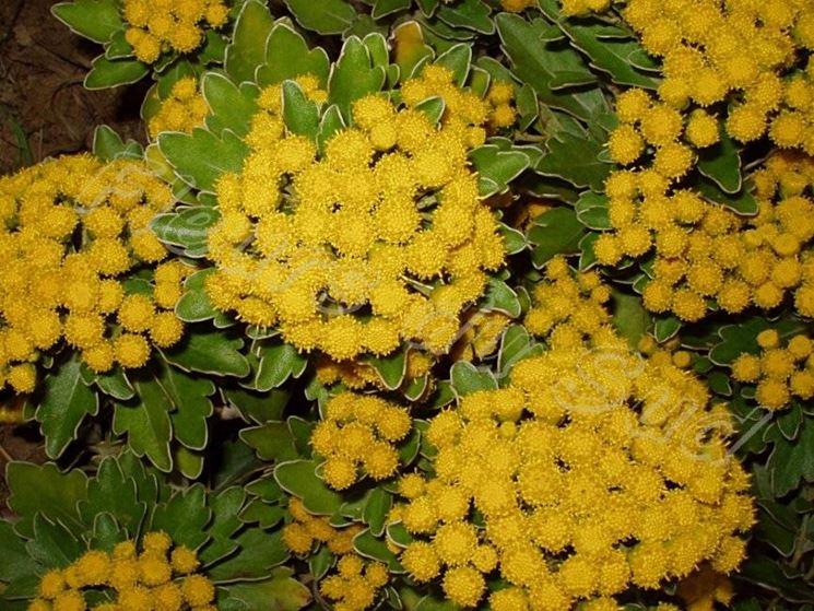 Infiorescenza di crisantemo giapponese