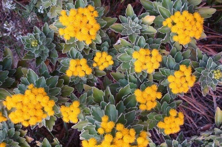 Crisantemo giapponese fiorito