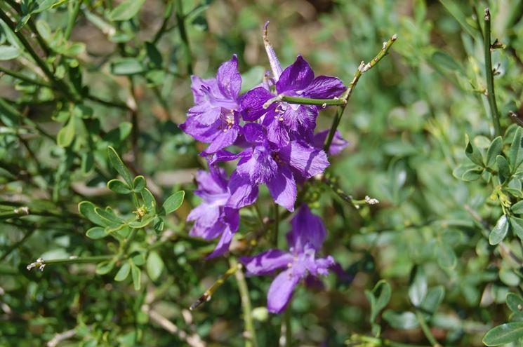 Fiori pianta delphinium