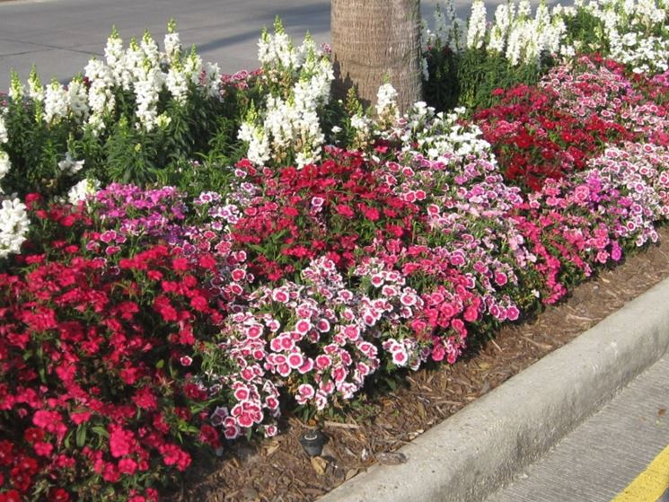 Dianthus piante perenni conoscere la pianta dianthus for Cespugli fioriti perenni da giardino