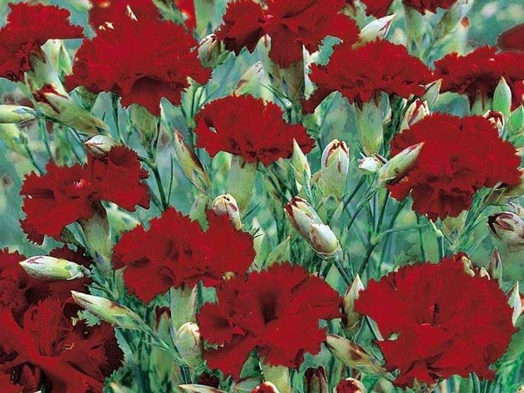 Dianthus rossi