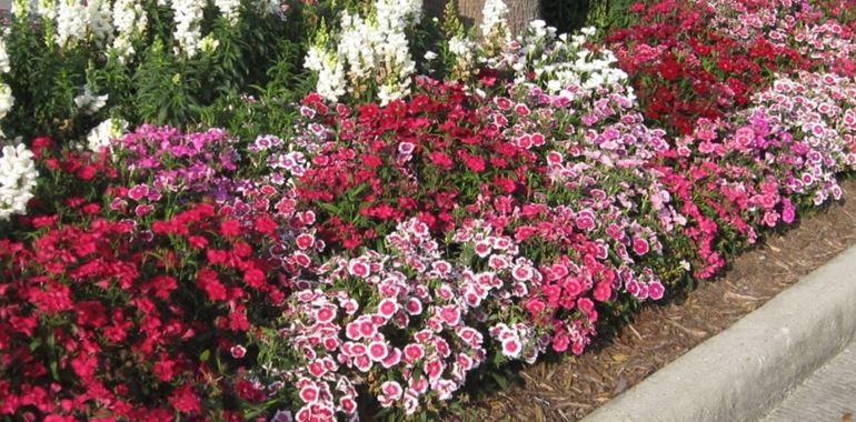 <h6>Dianthus</h6>Vuoi conoscere questa pianta dai fiori vivaci e colorati? Leggi il nostro articolo!