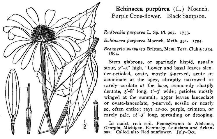 Echinacea purpurea (illustrazione)