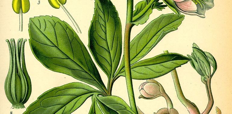 <h6>Ellebori </h6>Tante curiosit� sull'elleboro: coltivazione, cura, significato della pianta e molto altro con la nostra guida on line!