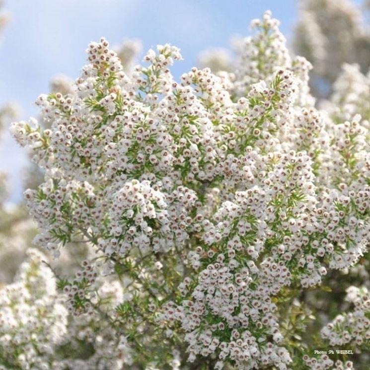 Erica arborea piante perenni erica arborea pianta for Piante secche ornamentali
