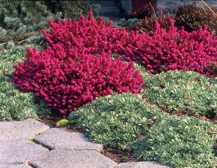 Erica pianta piante perenni fiore erica for Piante da aiuola sempreverdi
