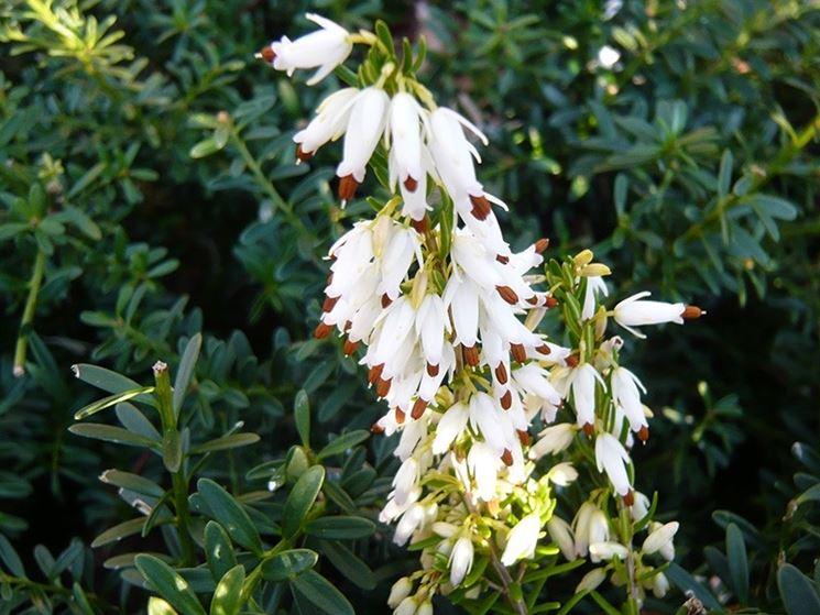 Pianta perenne fiore