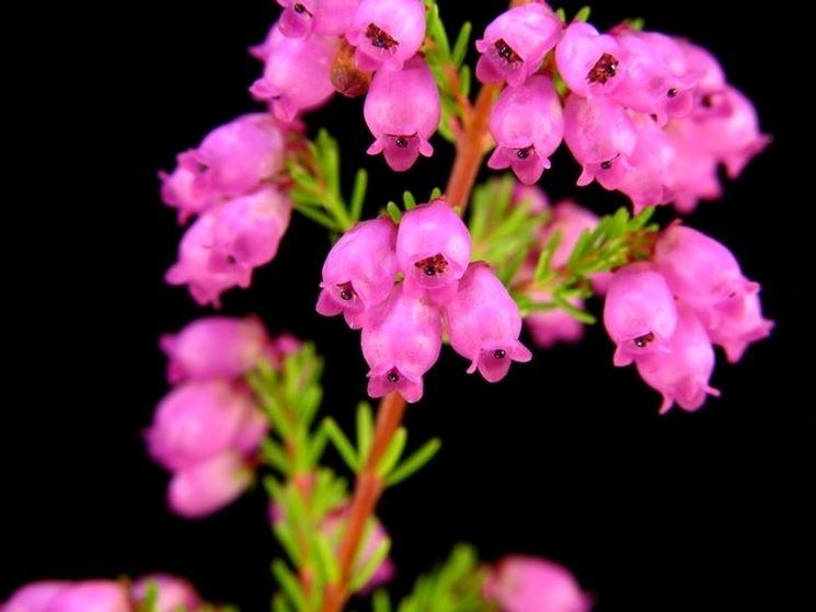 erica gracilis fiori
