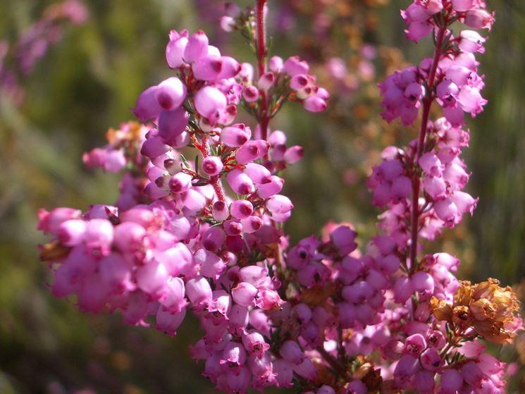 ramo erica gracilis