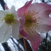 fiori di natale