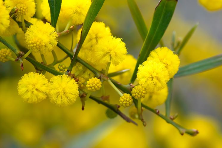 Caratteristiche infiorescenze della Mimosa