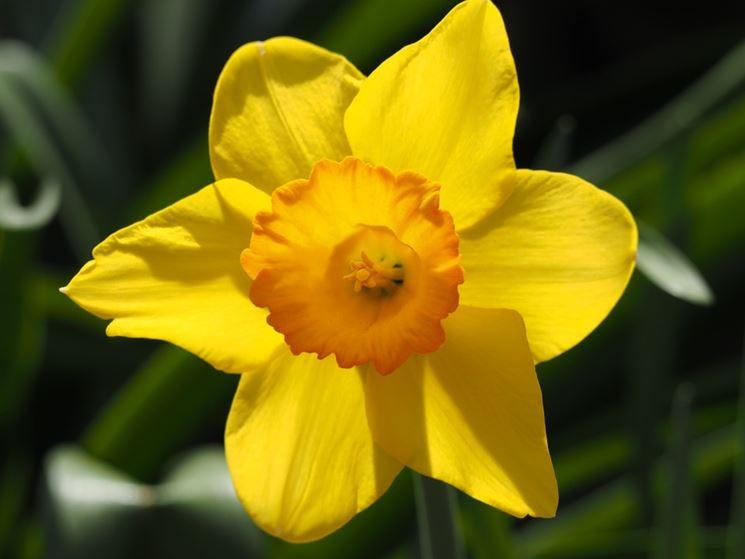 Particolare di Narciso giallo