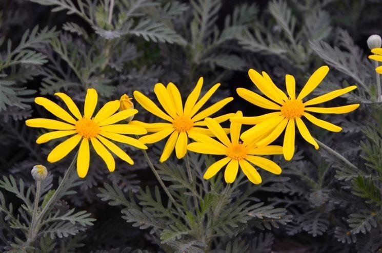 Piante tappezzanti fiori gialli idee per il design della for Fiori per giardino perenni