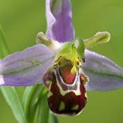Fiore di orchidea vesparia, simile a Shrek