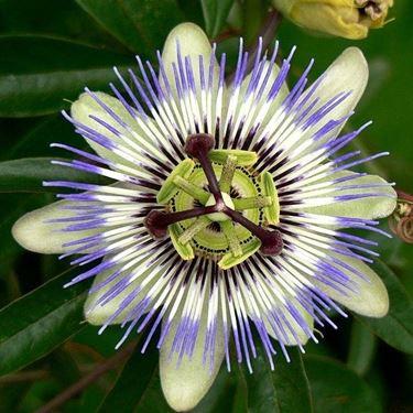 Fiore passiflora incarnata