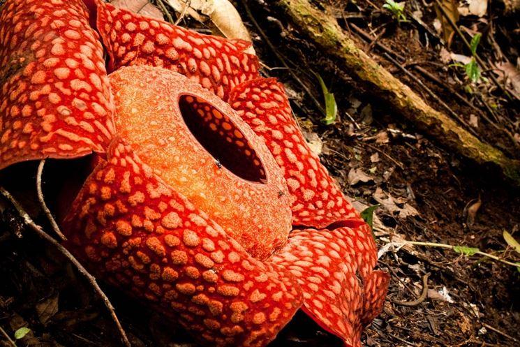 Foto Rafflesia arnoldii