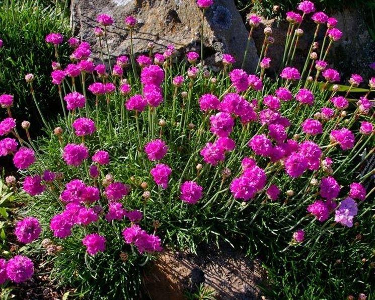 Fiori perenni piante perenni coltivare fiori perenni for Piante verdi perenni da giardino