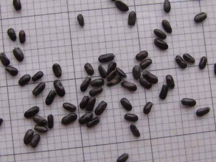 I piccoli semi di lavanda