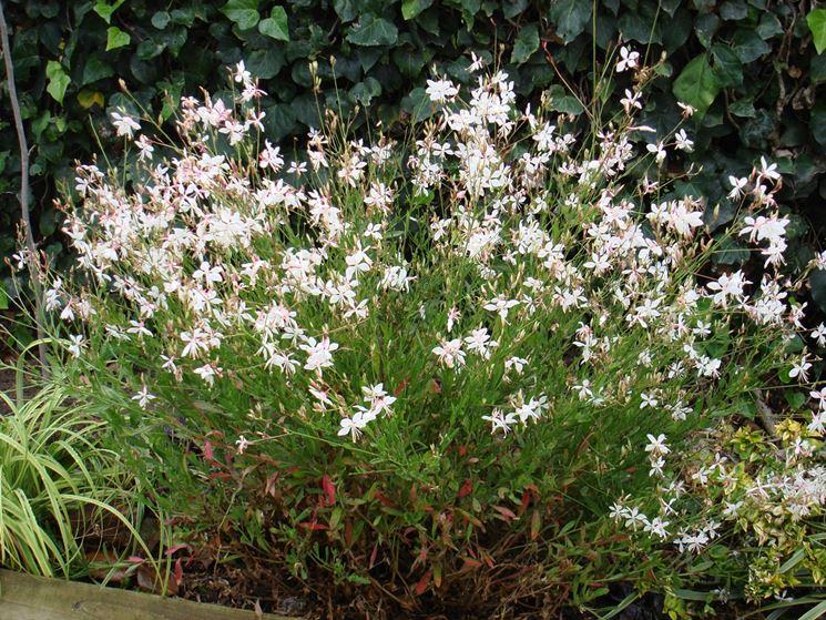 Gaura fiori bianchi