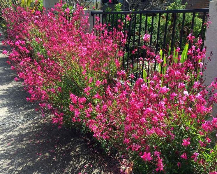 Gaura pianta giardino