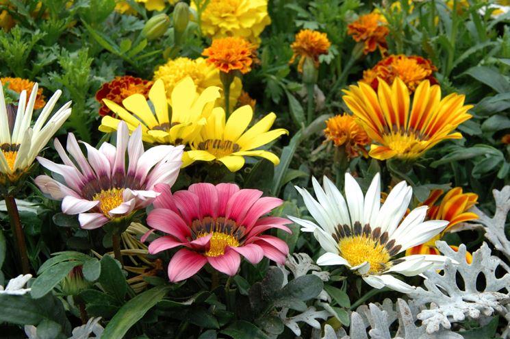 Gazania fiori