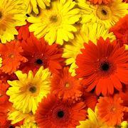 fiori gerbere