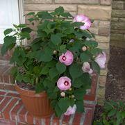 Esempio di hibiscus piantato in vaso