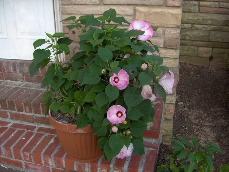 Esempio di <em>hibiscus</em> piantato in vaso
