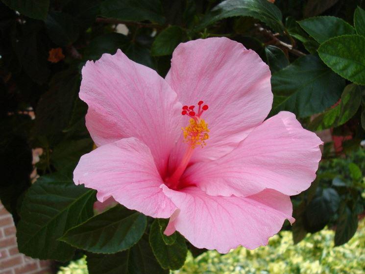 Fiore di hibiscus syriacus