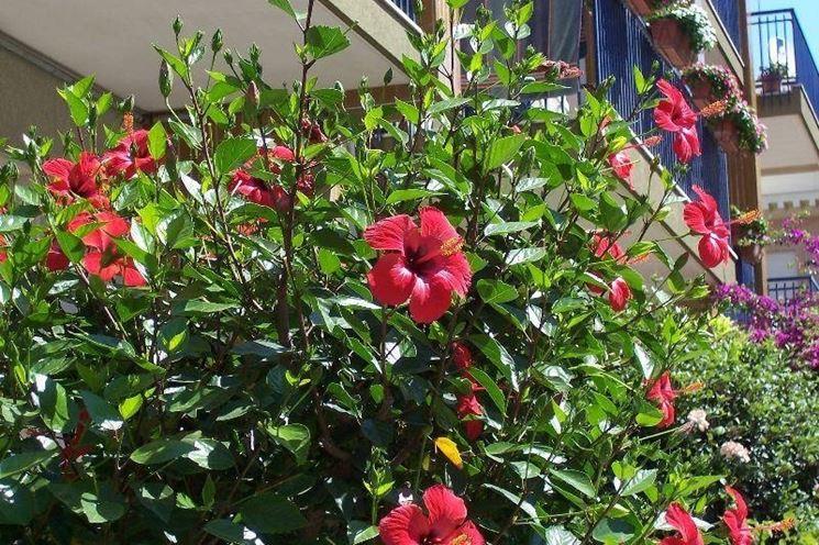 Esemplare di hibiscus rosa sinensis
