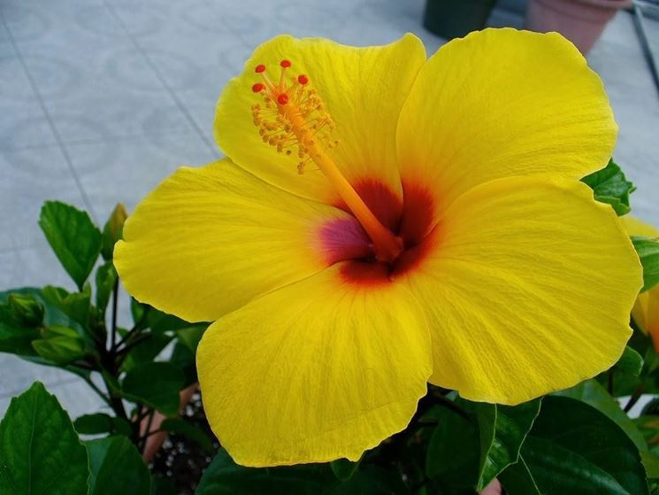 Hibiscus dai fiori gialli
