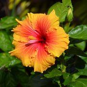 Hibiscus piante perenni hibiscus for Ibisco in inverno