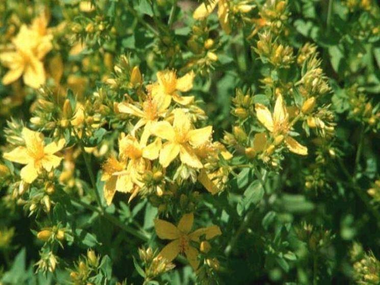 Pianta dell'hypericum fiorito