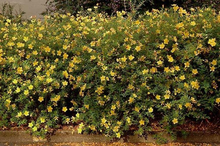 Pianta dell'hypericum fiorita