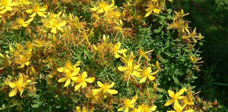 <h6>Hypericum</h6>Tecniche di coltivazione, caratteristiche e variet�...scopri con noi tutti i segreti di questa pianta.