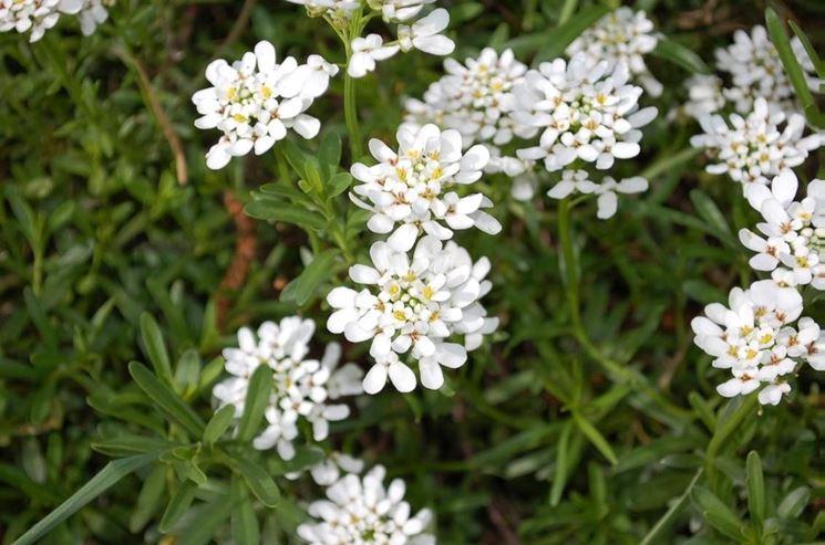 Iberis fiore