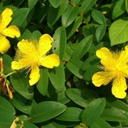 pianta Iperico
