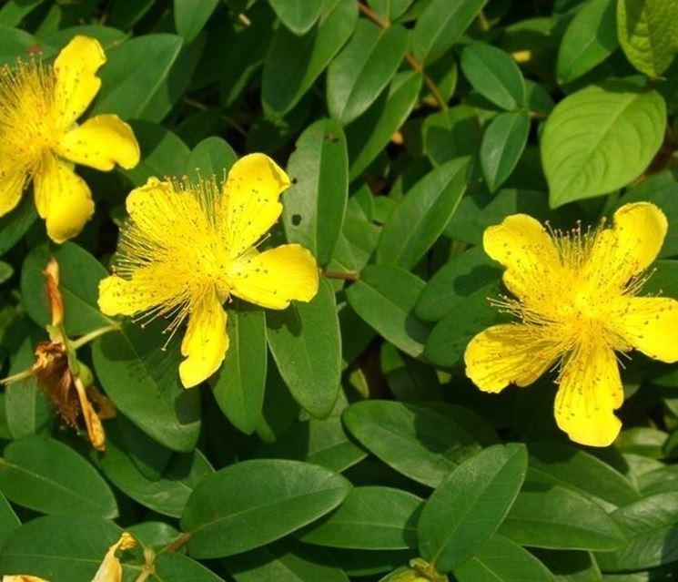 Iperico pianta piante perenni iperico caratteristiche for Piante da cespuglio