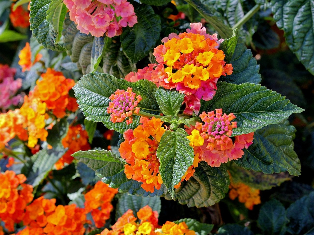 Lantana lantana piante perenni caratteristiche della for Piante giardino perenni