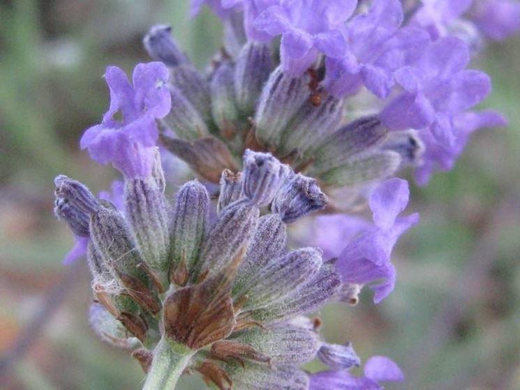 Dettaglio fiori lavanda angustifolia