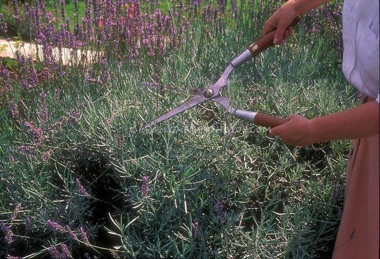 Lavanda in vaso piante perenni come coltivare la for Pianta lavanda in vaso