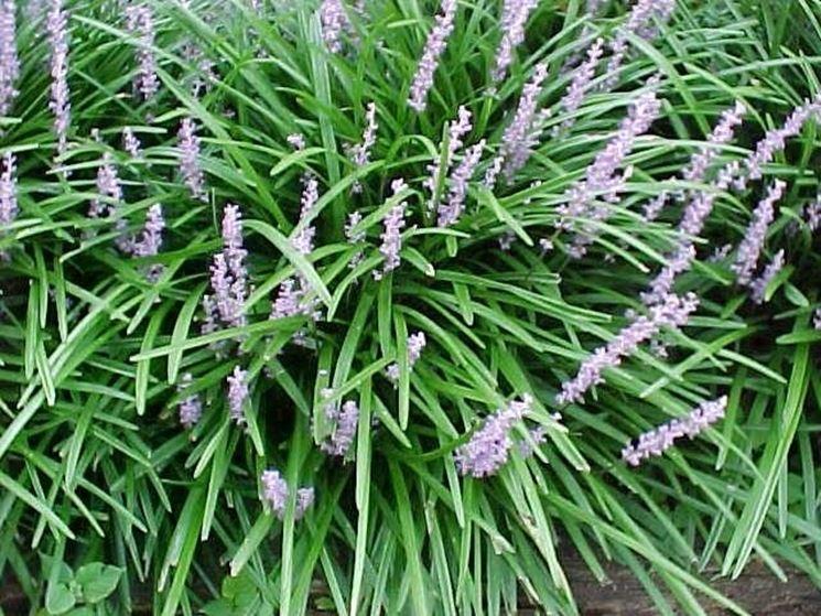Liriope piante perenni conoscere la pianta di liriope for Piante da cespuglio