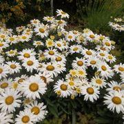 Piante di margherite fiorite