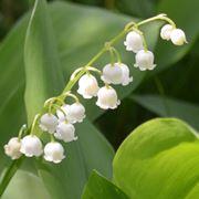 mughetti fiori