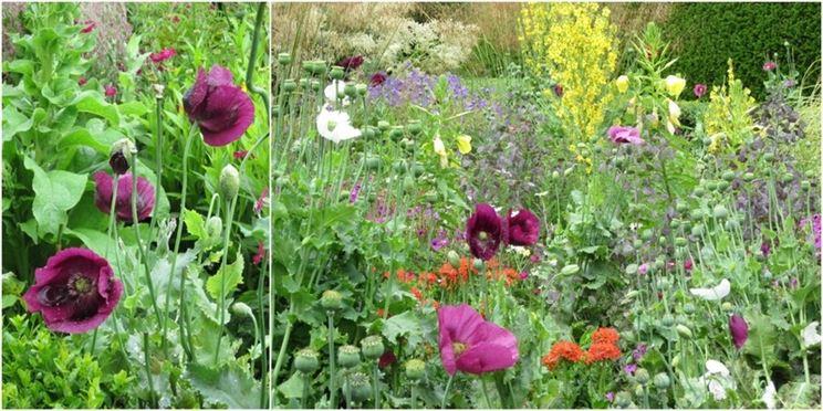Campo con piante di oppio