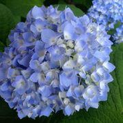 hydrangera macrophylla blue wave