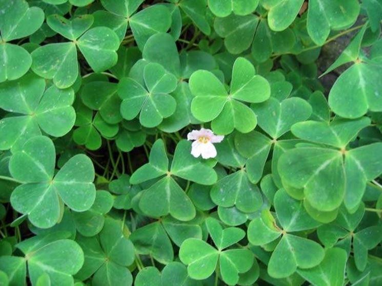 Oxalis piante perenni oxalis cura for Bakker piante perenni