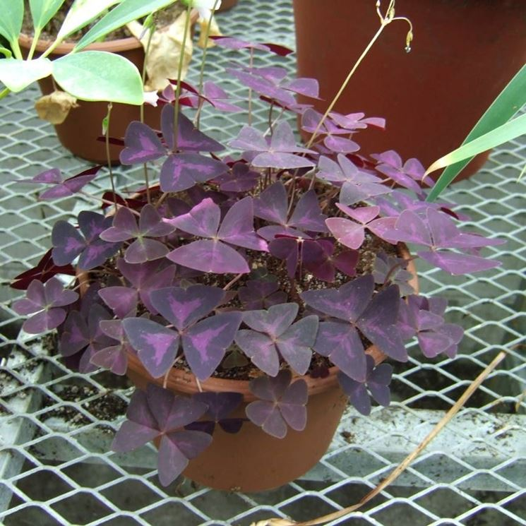 Oxalis coltivata in vaso