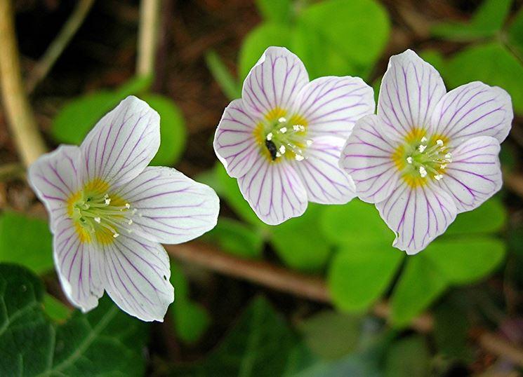 Particolare dei fiori di oxalis acetosella