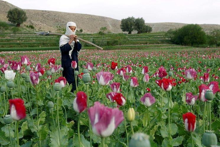 Piantagione fiore oppio